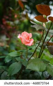 Beautiful pink rose in a garden - Shutterstock ID 468873764