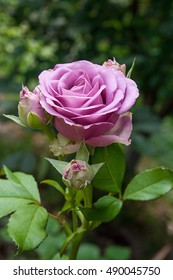 Beautiful pink rose in the garden. Artistic image of beautiful flower for greeting cards.