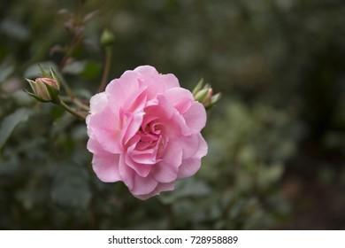 Beautiful pink rose in the garden closeup