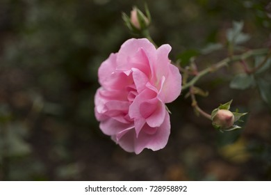 Beautiful pink rose in the garden closeup