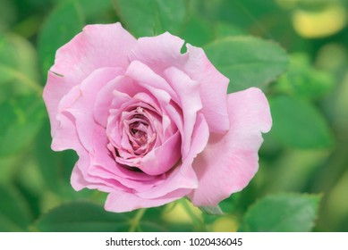 Beautiful pink rose in the garden. Pink rose flower background with shallow depth of field and focus the centre of rose flower. pink rose macro.