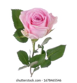Beautiful Pink Rose Hera isolated