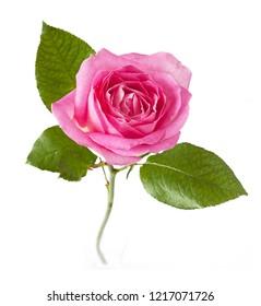 beautiful pink rose isolated on white background