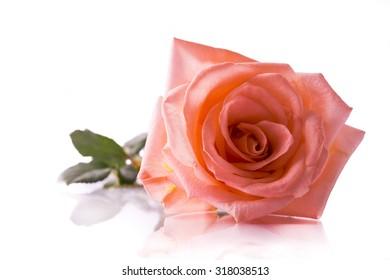 Beautiful pink rose , Isolated on white background