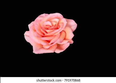 Beautiful pink rose isolated on black background