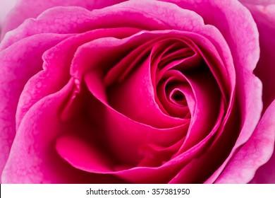 beautiful pink rose macro