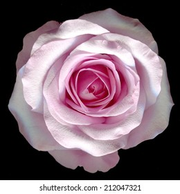 beautiful pink rose on a black background