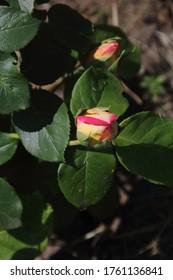 Beautiful pink rose in a summer garden