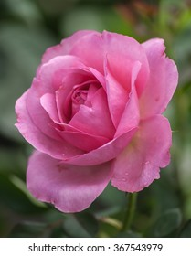 Beautiful pink rose in sweet and soft color blooming in the garden