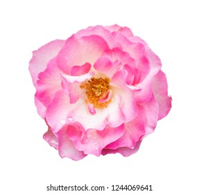 Beautiful pink rose with water drop isolated on white background