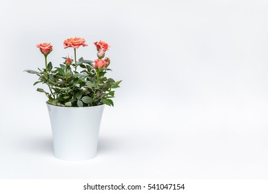 beautiful pink rose in white pot with snow on a white background