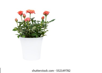 beautiful pink rose in white pot isolated on white background