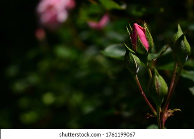 Hermoso rosebudo rosa en verano