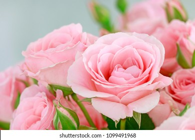 Beautiful pink roses background.