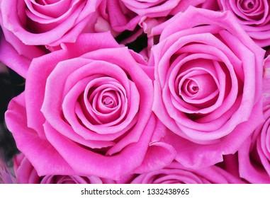 Beautiful pink roses background closeup