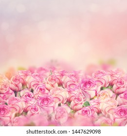 Beautiful pink roses bloom for background