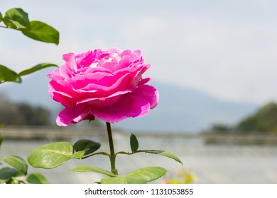 Beautiful pink roses are blooming in the garden with natural background see the mountain in the distance.