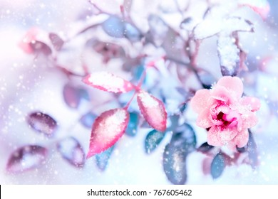 Beautiful pink roses and blue leaves in snow and frost in a winter park. Christmas artistic image. Selective and soft focus.