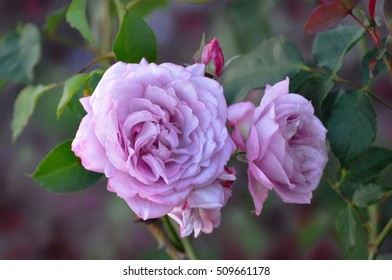 beautiful pink roses with buds
