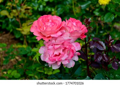 Beautiful pink roses on a background of green leaves in the garden on a summer day. - Shutterstock ID 1774701026