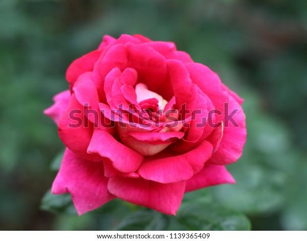 Beautiful Pink Roses Royal Rose Garden Stock Photo Edit Now