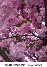 Beautiful pink sacura branches on tree.