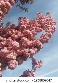 Beautiful pink sacura branches in park.