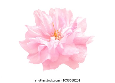 Beautiful pink sakura flower cherry blossom isolated on white background. Shallow depth. Soft toned. Greeting card template. Shallow depth.