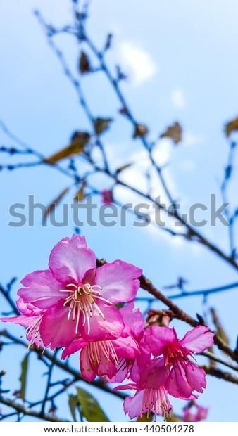 Beautiful pink sakura flower closeup