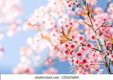 Beautiful pink Sakura flowers cherry blossom blooming at Sakura park.