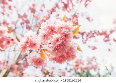 Beautiful Pink Sakura flowers, cherry blossom during springtime against blue sky
