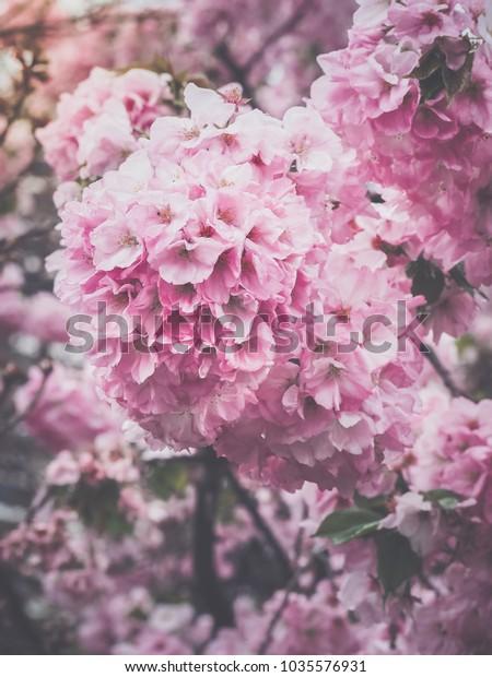 Beautiful Pink Sakura Flowers Japan Selective Stock Photo Edit