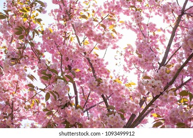 beautiful pink sakura over blue sky