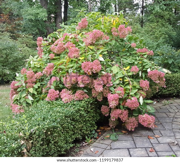Beautiful pink sedum shrub with lush trees and stone pathway.