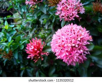 Pink spike flower garden images stock photos vectors shutterstock beautiful pink spike flowers ixora blooming ixora flower ixora flower in the garden mightylinksfo
