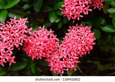 Pink spike flower garden images stock photos vectors shutterstock beautiful pink spike flowers or ixora in garden mightylinksfo