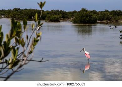 Beautiful pink Spoonbill (Platalea) in its natural habitat; found in National Park in Cuba