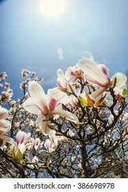Beautiful pink spring flowers magnolia on a tree branch
