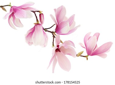 Beautiful pink spring magnolia flowers on a tree branch isolated on white