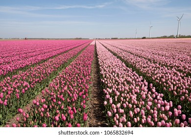 Beautiful  pink spring tulips on the field
