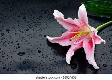 Beautiful pink stargazer lily (Lilium Stargazer) with waterdrops on black background