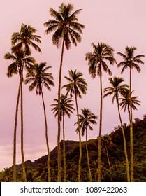 Beautiful Pink Sunset with Palm Trees in Rarotonga Cook Islands