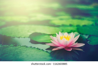 Beautiful Pink Thai Lotus that have been appreciated with dark blue water surface.