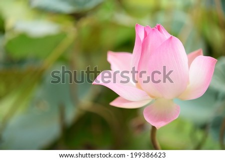 thai Pink lily