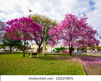 Beautiful Pink trumpet trees in full blossom at a park in Uruguaiana, Brazil