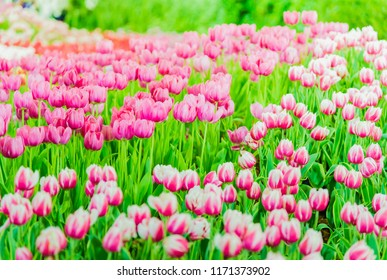 Beautiful pink Tulip flowers in the garden,Nature concept background.