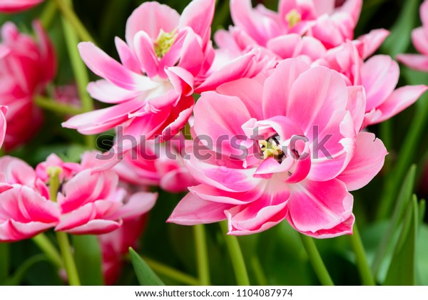 Beautiful pink tulips flowerbed background