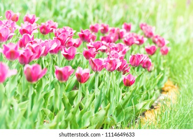 Beautiful pink tulips with green grass on background