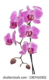 Beautiful pink and violet orchid plant isolated on a white background. Floral fragrance, fragility and design concept.