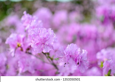 Beautiful pink or violet Rhododendron with blured background